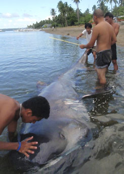 This dead megamouth shark was photographed March 30 in the town of Donsol, Sorsogon province, central Philippines.