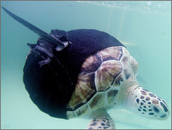 Allison, a rescued green sea turtle with only one flipper, swims with the aid of a newly designed neoprene ninja suit in South Padre Island, Texas Wednesday.
