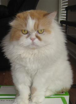 This 5-year-old Persian cat named Romeo is generating thousands of dollars of donations for animal rescue groups.