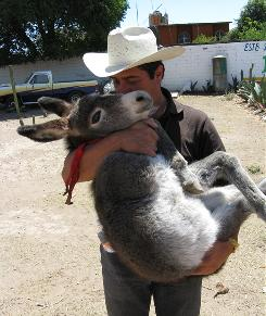 Manager German Flores carries an 18-week-old donkey at Burroland in Otumba, Mexico. The shelter cares for unwanted animals.
