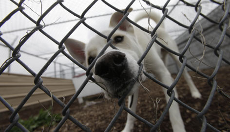 A dog waiting for adoption pokes its nose through a hole in the fence. Spring means that dogs are giving birth to litters, which can stress already overcrowded shelters, so groups are organizing adoption drives and transporting dogs from shelters mostly in the Midwest and South to those primarily in the North and Northeast, where pet owners have long sterilized their pets and overpopulation is more under control.