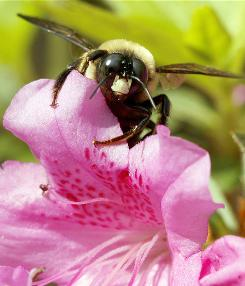 A carpenter bee forages for pollen on an azalea shrub in Wilmington, Del., May 8. Global warming is making the pollen season last longer and attracting insects, scientists say.