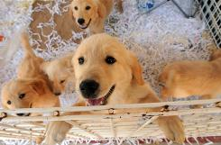 Golden Retriever puppies on display in what's known as Dog Town, part of the First Monday Trade Days flea market in Canton, Texas.