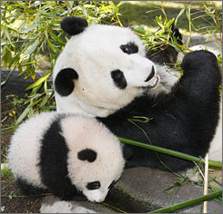 Bai Yun, right, eats as her then-young cub Zhen Zhen, left, leans agains her in their enclosure in the San Diego Zoo.