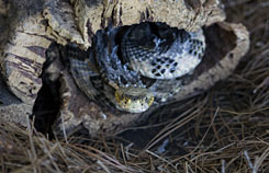 Urban sprawl contributes to more rattlesnake sightings.