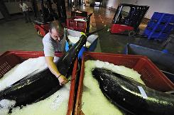 A driver handles tunas weighing over 670 pounds at the Basque Port of Hondarribia in San Sebastian, Spain, June 29. It's no secret that overfishing has driven many tuna species including the iconic blue fin to the brink of extinction, but there is plenty of disagreement over what should be done about it.
