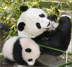 Bai Yun, right, eats with then four-month-old cub Zhen Zhen, left, on Dec. 21, 2007. The 17-year-old panda gave birth to her fifth cub Wednesday.