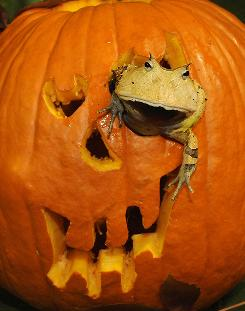 A horned frog peers out of a pumpkin during a Halloween event at the Bronx Zoo in New York City last year, when the pumpkin crop was more plentiful than it is forecast to be this year.