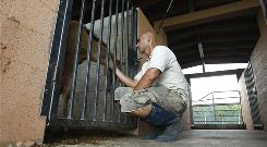 Richard Couto of the South Florida Society for the Prevention of Cruelty to Animals plays with a pony whose mother was illegally butchered in July. He says the group is seeing more brazen acts with horse killings on the sides of roads.