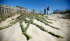 Waller Whittemore, left, and Cheryl Petticrew walk by the invasive beach vitex growing near a sand dune in Virginia Beach.