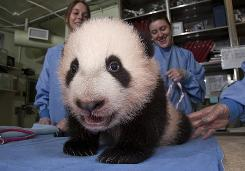 The San Diego Zoo's panda cub, Yun Zi, seen on Thursday, marked a milestone by cutting his first two teeth, the lower canines.
