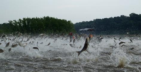 Silver carp, a variety of Asian carp, can jump up to 10 feet out of the water when disturbed by a passing boat. Boaters and water-skiers on the Illinois River have been injured by the airborne fish.