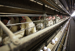 Egg producers struggle to find markets for the 100 million hens that they cull each year to make room for new stock.