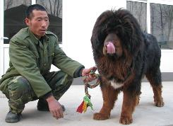 An employee at the Oriental Treasure Tibetan Mastiff Breeding Center near Beijing shows off one of their most prized dogs.