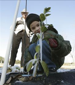 Bo Suber, 5, looks at a satsuma plant Tuesday in Quincy, Fla. The plants were iced on purpose as a protective measure against the freezing temperatures.