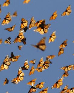 Pesticides, pollution and the lack of protective groves have all contributed to a decline of migratory monarch butterflies.