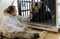 Nicole Meese feeds giant panda Tai Shan on a cargo plane at Dulles International Airport in Chantilly, Va. Two giant pandas born in American zoos were headed to China by special cargo jet Thursday to become part of a breeding program in their endangered species' native land.