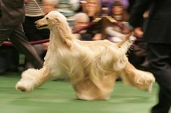 An Afghan hound competes for best in breed on the first day of the 2010 Westminster Kennel Club dog show in New York Feb. 15.