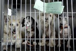 Dogs wait to be unloaded from a truck after arriving at the Humane Society of Missouri headquarters in 2008 after more than 360 animals, many of them emaciated, injured and suffering from mange and parasites, were rescued at a southwest Missouri property where they were hoarded and bred, authorities said.