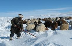 A herder in the Uench district of the Altai mountains, in western Mongolia's Khovd province, attempts to clear snow to allow his herd of goats and sheep to graze on Jan. 11.