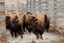 Bison trot in corrals in Corwin Springs, Mont., on Feb 17 before traveling to Ted Turner's ranch.