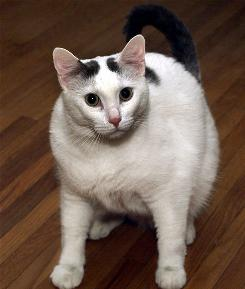 """Pound"" a male cat that should weigh around 14 pounds, weighs eighteen and one-half."