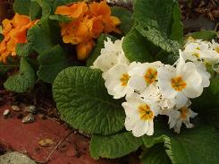 """A USA TODAY reader with the profile name GardenAlaska submitted this photo, writing: """"Primroses grow very well in southeast Alaska. I have about four different types in my many flower gardens. They enjoy cooler weather."""""""
