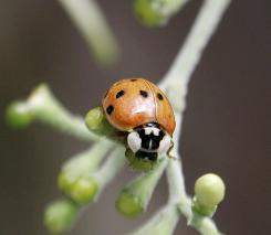 A healthy ladybug population can keep pests low, protecting corn, soybeans and other crops and reducing the need for insecticide by eating certain types of bugs that cut into crop yields.
