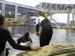 Trainer Dawn Brancheau feeds Tilikum on Feb. 24 before the whale pulls her into the water and kills her at SeaWorld in Orlando.