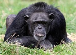 A chimpanzee named Rosie touched and groomed her mother, Pansy, as she died, then stayed with the body throughout the night.