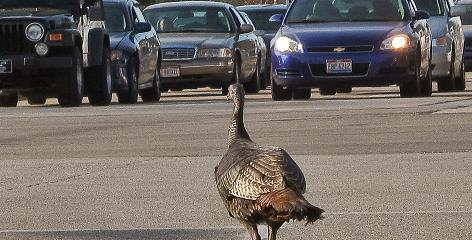 A wild turkey holds up traffic on April 2 near Cleveland, Ohio. An animal warden was able to lure the turkey off the street to safety.