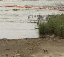 A coyote looks out Friday at the Gulf of Mexico at Pass A Loutre, La., where the Mississippi River meets the Gulf.