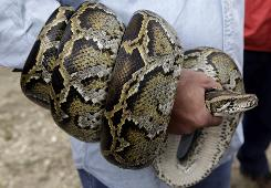 A Burmese python is coiled around the arm of hunter Michael Cole during a news conference Monday, Feb. 22.