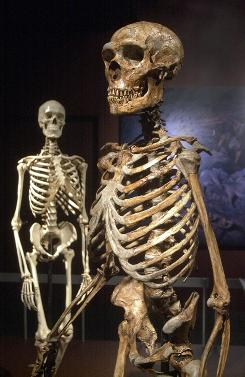 A reconstructed Neanderthal skeleton, right, and a modern human version of a skeleton, left, displayed at the American Museum of Natural History in New York in 2003. New fossil analysis shows that humans inherited a small amount of Neanderthal genes.