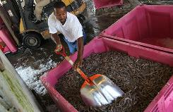 In Port Sulfur, La., Stanley Johnson packs fresh shrimp for shipping from Chris' Marina on Tuesday. Authorities started shrimping season two weeks early in the area because of the spill.