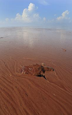 A dead turtle floats on a pool of oil from the Deepwater Horizon spill in Barataria Bay off the coast of Louisiana on Monday.