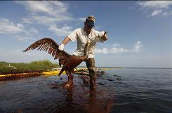 Plaquemines Parish coastal zone director P.J. Hahn tends to an oil-covered pelican.
