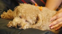 A toy poodle sleeps. Dogs and cats dream in a way similar to humans, according to an MIT study.