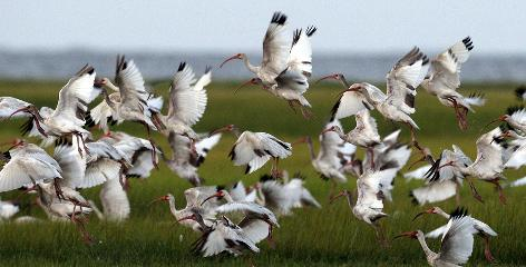 A flock of white ibis lifts off from marsh grass on Dry Bread Island in Louisiana's St. Bernard Parish on Wednesday. Crews found about 130 dead birds in the eastern part of the parish behind the Chandeleur Islands.