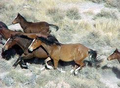 Wild horses gallop in the Rocky Hills HMA, southeast of Battle Mountain, Nevada.