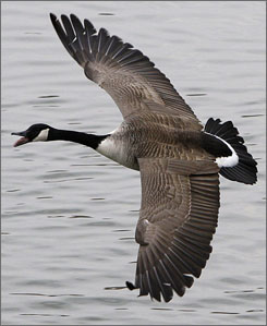 The non-migratory population of Canada geese along the eastern U.S. and Canada has more than tripled since 1990 to nearly 1 million, according to the U.S. Fish and Wildlife Service.
