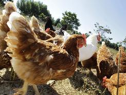 Free-range chickens feed in a pasture at a farm unaffected by the FDA's massive recall of more than a half-billion eggs. 