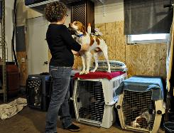 Holly Vanderweyst prepares Jonas, a Brittany Spaniel, to meet an adoptive family in Sartell, Minn. Vanderweyst and her husband, Jeff, volunteer as a foster family.