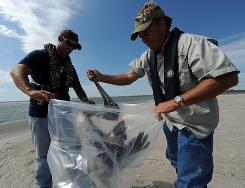 Nick Herrington, left, and P.J. Hahn, director of Plaquemines Parish Government Coastal Zone Management Department, pick up a dead pelican at Pass Chaland, a barrier island in the Gulf of Mexico off Myrtle Grove, La.