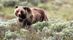 In this June 7, 2005, file photo released by Yellowstone National Park, a grizzly bear moves through the brush in the park in Wyoming.