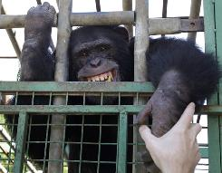 Omega, a 12-year-old chimpanzee, bares his teeth through his cage in a zoo in the southern Lebanese village of Ansar on Monday. Omega In his younger years was used in one of the local restaurants to entertain people and was made to smoke cigarettes.
