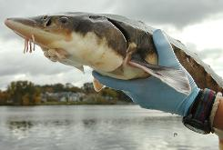 The National Marine Fisheries Service says the shortnose sturgeon is in jeopardy of extinction and proposes a South Carolina utility to help it reach spawning grounds.