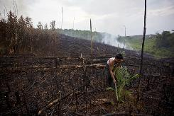 A worker plants oil palm seed in Sumatra, Indonesia. The palm oil business is causing deforestation.