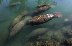 Manatees congregate in a canal where discharge from a nearby Florida Power & Light plant warms the water in Fort Lauderdale on Tuesday. Overnight temperatures in South Florida were in the 30s.