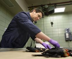 Assistant State Veterinarian Brandon Doss examines dead red-winged blackbirds at the Arkansas Livestock and Poultry Commission Diagnostic Laboratory in Little Rock, on Monday. Scientists say fireworks likely caused the deaths of 5,000 birds over the weekend.